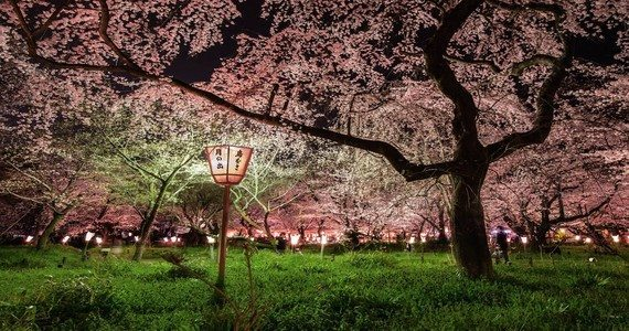 cherry blossoms japan cook-jenshel