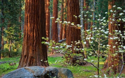 """As Spring progresses to higher elevations, the Dogwoods (<em>Cornus nuttallii</em>) amid the giant Sequoias (<em>Sequoiadendron giganteum</em>) in Sequoia and King's Canyon National Parks burst into bloom in late May. These giant white flowers complete the magical forest setting by creating such beautiful contrasts. On the afternoon that I took this photo Iwas particularly lucky to have two mule deer (<em>Odocoileus hemionus</em>) enter the meadow as the afternoon light revealed the forest's depth. (<a href=""""http://artinnature.wordpress.com/2008/06/04/life-among-giants/"""">read blog entry</a>)<br />"""